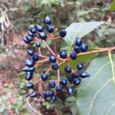 Viburnum tinus MARFULL 2