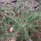 Asparagus albus ESPARRAGUERA BLANCA 01