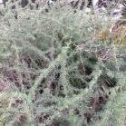 Asparagus albus ESPARRAGUERA BLANCA 02