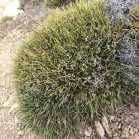 Erinacea anthyllis COIXÍ DE MONJA