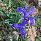 Moraea sisyrinchium PATITA DE BURRO 03