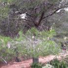 Pinus halepensis PI BLANC pino carrasco 02