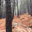 Pinus pinaster PINO RESINERO Pinastre 02