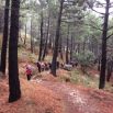 Pinus pinaster PINO RESINERO Pinastre 03