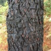Pinus pinaster PINO RESINERO Pinastre 04