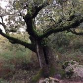 Quercus canariensis ROBLE ANDALUZ 01