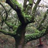 Quercus canariensis ROBLE ANDALUZ 02