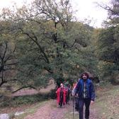 Quercus canariensis ROBLE ANDALUZ 03