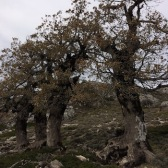 Quercus faginea ROURE DE FULLA PETITA quejigo 01