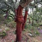 Quercus suber SURERA alcornoque 01