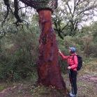 Quercus suber SURERA alcornoque 02