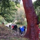 Quercus suber SURERA alcornoque 03