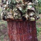 Quercus suber SURERA alcornoque 04