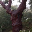 Quercus suber SURERA alcornoque 05