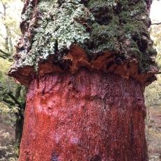 Quercus suber SURERA alcornoque 06 copia
