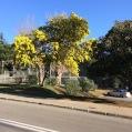 Acacia dealbata Link MIMOSA