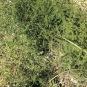 Asparagus acutifolius ESPARRAGUERA BORDA 2