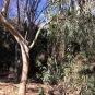 Eucalyptus globulus Labill EUCALIPTUS
