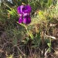 Iris germanica Lam GÍNJOL BLAU 1