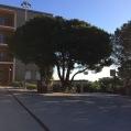 Pinus pinea PI PINYER