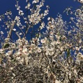 Prunus dulcis AMETLLER 1